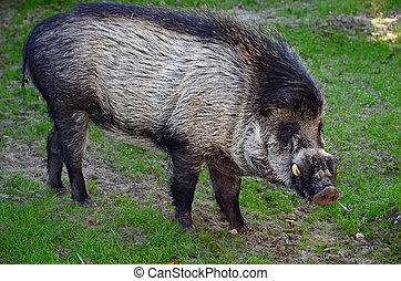 Visayan Warty Pig - A Visayan Warty Pig originally found in ...
