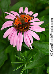 A vivid butterfly on echinacea flower