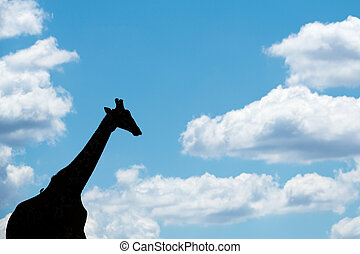 A walking giraffe silhouetted against a blue sky with clouds