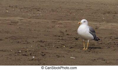 a walking gull - sea gull at the beach