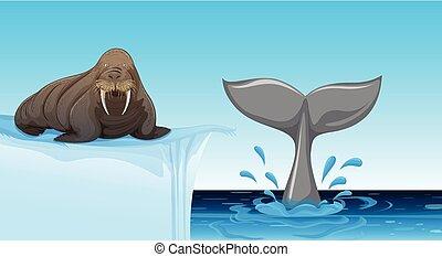 A walrus on ice floe