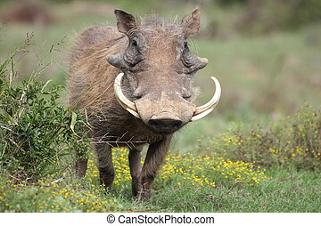 A warthog with big tusks in Addo Elephant NAtional PArk, South Africa