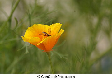 A wasp in the heart of a yellow flower