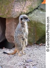 a watchful meerkat