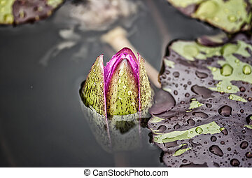 """a water lily """"Nymphaea alba"""""""