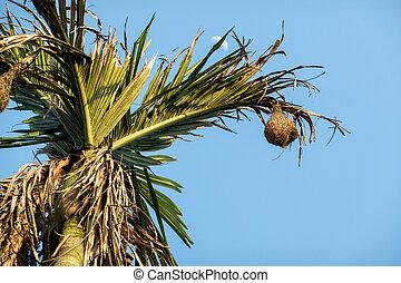 Weaver Bird Nest in a Palm Tree