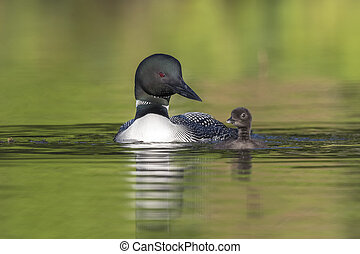 A week-old Common Loon chick practising its swimming skills as its mother looks on