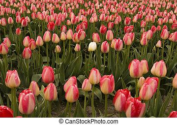 a, weiße tulpe, in, falsche , feld