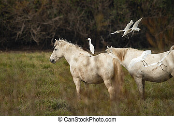 A Western Cattle Egret standing on a white Camargue horse - ...