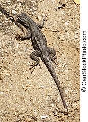 A western fence lizard suns itself on the sand along a trail.