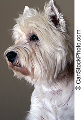 A Westie - a west highland white terrier