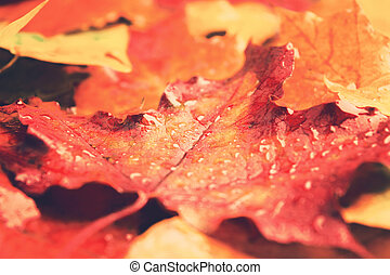 A wet red maple leaf with closeup view, toned photo