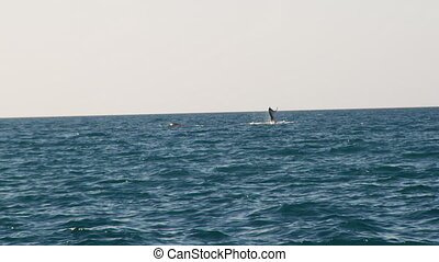 A whale splashes it tail on the water