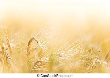 A wheat field, fresh crop of wheat.
