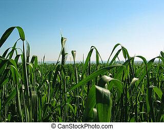 wheat field - a wheat field in Braga city, Rio Grande do...