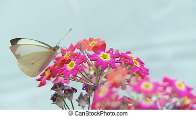 A white butterfly feeds on a flower and then fly. Un...