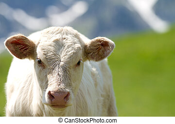 calf in a prairie