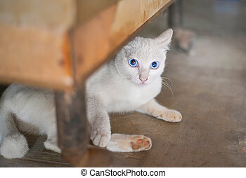 a white cat blue eyes / Kitten white lying on greund under table