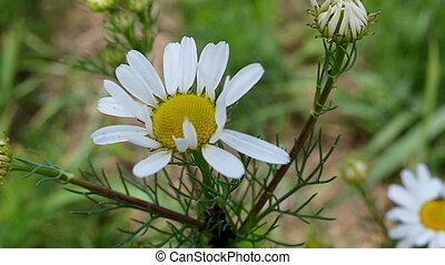 A white chamomile flower with black ants crawling on it - A...