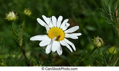 A white chamomile flower with black ants creeping on it - An...