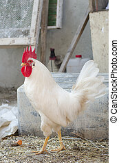 White cock in the village yard
