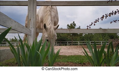 A white-colored horse pinches grass with its head stuck ...