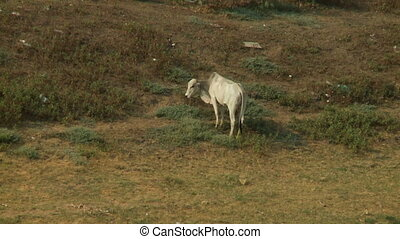 A white cow eating grass standing by the meadow - A long...