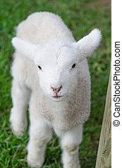 A white cute lamb on green grass