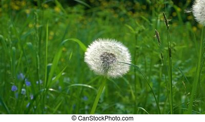 A white dandelion the down is blown off it - A white...