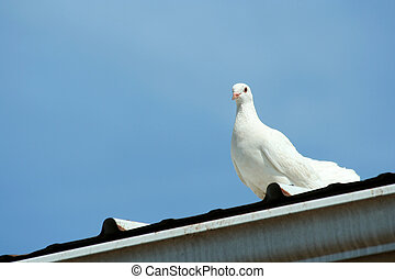White dove with blue sky