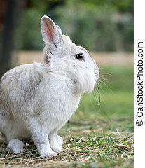 A white dwarf rabbit sitting in the grass, eating