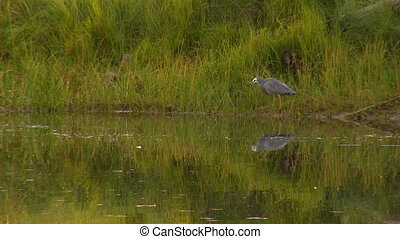 A white faced heron standing on the bank of a pond - Wide...