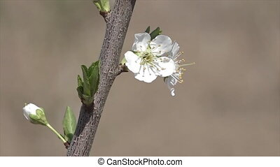 A white flower on a branch in Uzbekistan - A close-up shot...