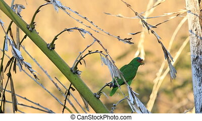 White-Fronted Parrot, Amazona albifrons, in Costa Rica - A...