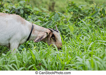 A white goat against grass