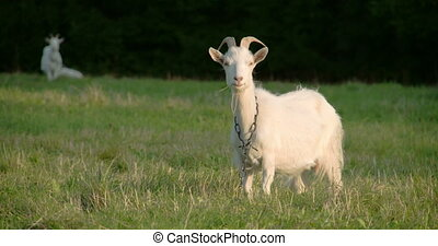 A white goat with a chain on its neck