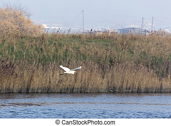 A white heron bird flying on the water