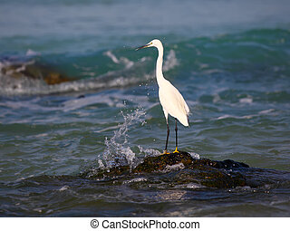 A White Heron stands on an rock by the sea looking for prey