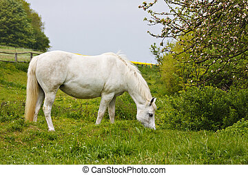 A white horse on a meadow.
