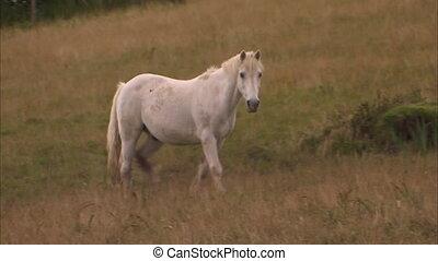 A white horse walking on field