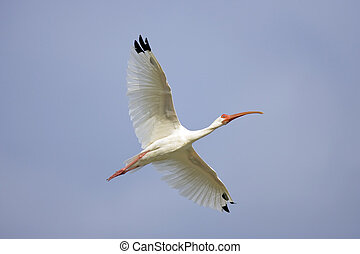 White Ibis in flight - A White Ibis in flight over a small...