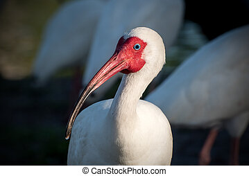 white ibis - A white ibis in the evening sun.