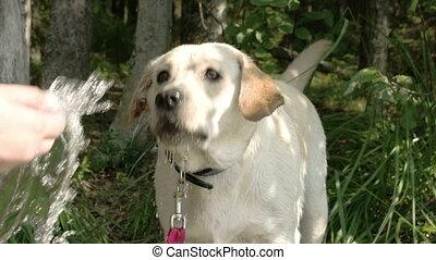 A white labrador retriever dog drinking some water