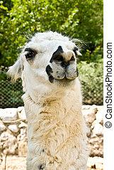 A white lama looking side ways