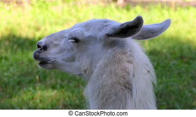 a White Lama on a Sunny Day in Summer - a Closeup of a White...