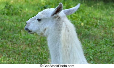 a Closeup of a Funny White Lama's Head Which Stands in a Zoo on a Sunny Day in Summer. it Looks Fine and Pleasant on a Green Grass Lawn