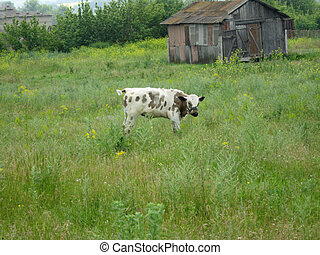 A white little cow in the field - A little cow in the field...