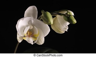 A white orchid spinning on a black background