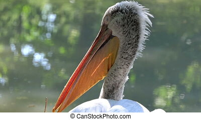 a White Pelican Sleeps While Standing on a Lake Bank - a...
