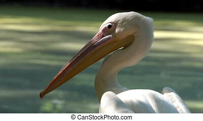 a White Pelican Stares at Flying Birds